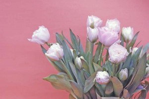 white tulips against red background