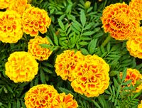 tn_FrenchMarigold_b
