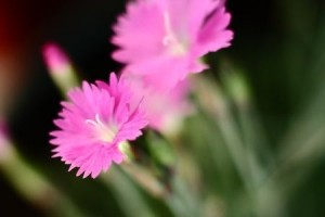 tn_Dianthus_Pinks
