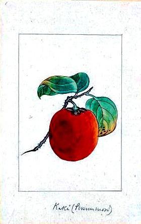 Art-Asian-Botanical-fruit-persimmon_vi
