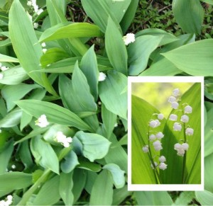 tn_lily-of-the-valley-2